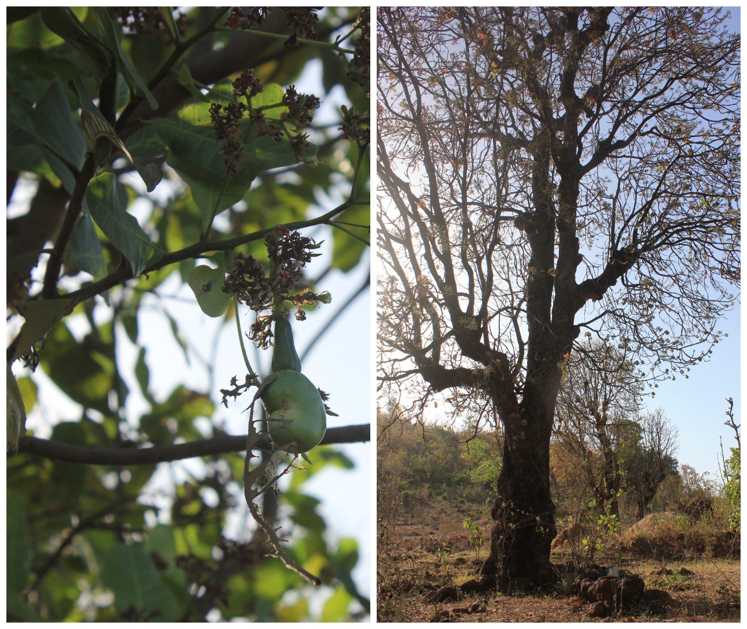Photo 1_ The cashew and mahua tree in Premila Ben's home at Shamgahan, Dang.